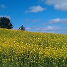 Yellow field by DES PALMER