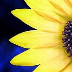Sunflower by andrewjloftis
