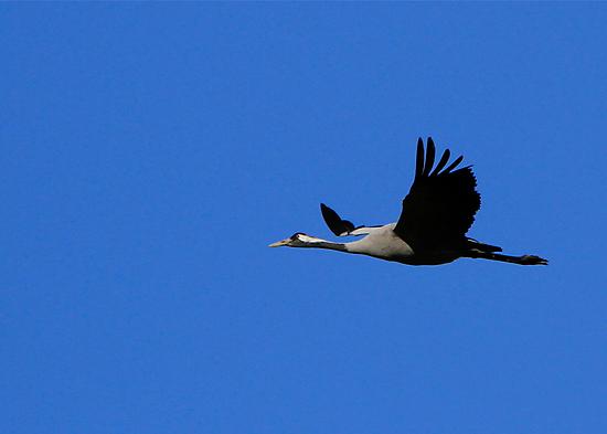 A crane flying to its winterresidence. by Birgit Van den Broeck