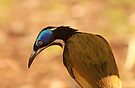 Blue-Faced Honeyeater by Ursula Rodgers