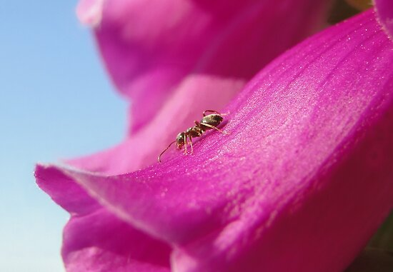 Anton the Ant On Foxglove by Barrie Woodward