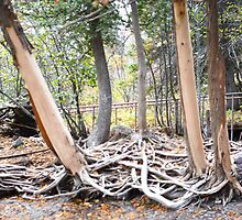 Roots at Gooseberry Falls by markwestpfahl