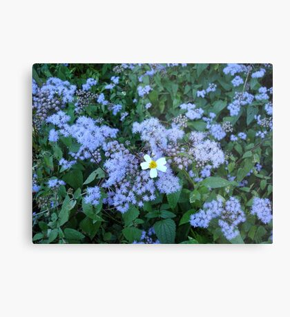 Wild Ageratum and Bidens alba (He loves me, he loves me not) Metal Print
