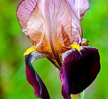 Bearded Iris by Alison Hill