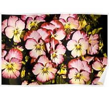 Pansy Series 2 - Antique Poster