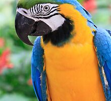 Blue and Yellow Macaw by Bevlea Ross