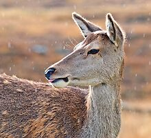 Red Deer Portrait by M.S. Photography/Art