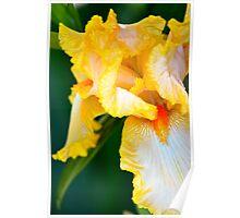 Golden Bearded Iris Poster