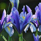 Iris by Julie Sherlock