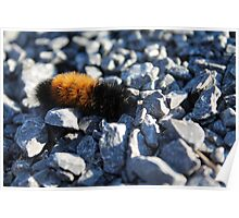 Wooly Bear Poster