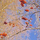 Red Berries and Willows by Shulie1