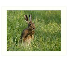 European Brown Hare Art Print