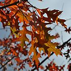 Turkey Oak in Autumn by Samantha Creary