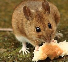 Wood Mouse by stuart powell