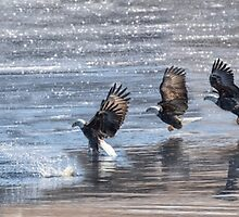American Bald Eagle Catching A Fish Composite 2015-1 by Thomas Young