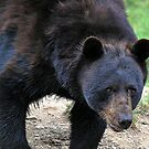 Black Bear by Rose Landry