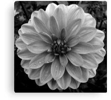 Black (and White) Dahlia Canvas Print