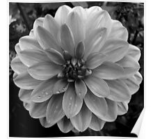 Black (and White) Dahlia Poster