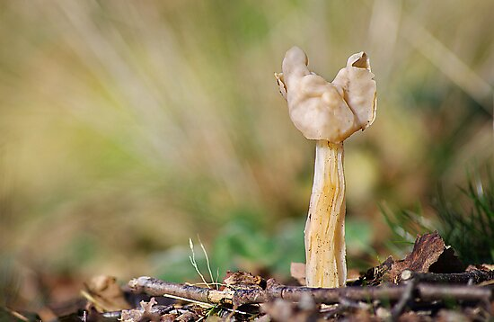 White Saddle   [ Helvella crispa  ]   by relayer51