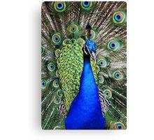 Peacock in full Bloom Canvas Print