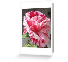 'Sentimental' Rose in Fall Bloom Greeting Card