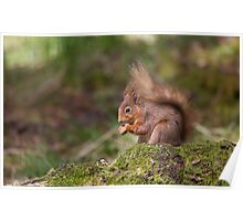 Red Squirrel in May sunshine Poster