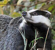 Badger by Mark Hughes