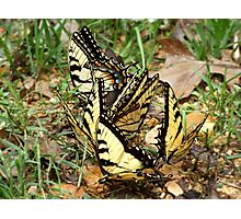 Tiger Swallowtails Photographic Print
