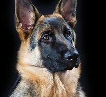 German Shepherd Dog, #12 by Chris Cobern