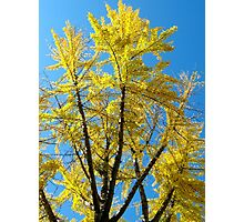 Autumn Ginko Photographic Print