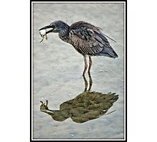 Juvenile Yellow Crowned Night Heron Photographic Print