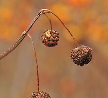 Common Button Bush - flowers gone to seed by Poete100