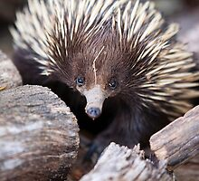 Meet Ernie the Echidna by Malcolm Katon
