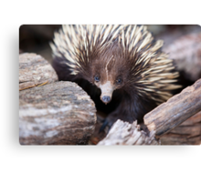 Meet Ernie the Echidna Canvas Print