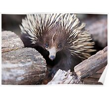 Meet Ernie the Echidna Poster