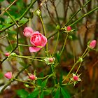 Tashmoo beauty still on the bush after Hurricane Sandy by Choux