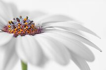 White daisy by Lyn Evans
