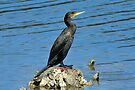 Great Cormorant taken at St Helens in Tasmania by Alwyn Simple