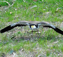 Mask Lapwing at South Bruny Island Defending its nest by Alwyn Simple