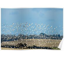 Golden plovers flocking over Bannow Bay, County Wexford, Ireland Poster