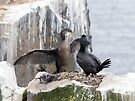 Shag by Nigel Bangert