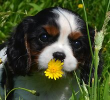 Eight week old Cavalier King Charles puppy by Victoriarj