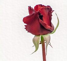 "Red Rose Bud - ""Red Cross"" by DPalmer"