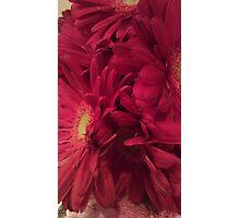 Dark Pink Daisy Photographic Print