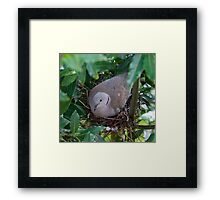 Collared Dove Framed Print