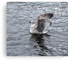 gray seagull Canvas Print