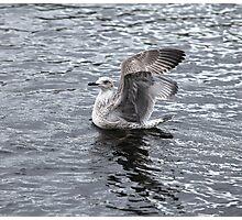 gray seagull Photographic Print