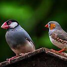 Una bella coppia di Padda by Andrea Rapisarda