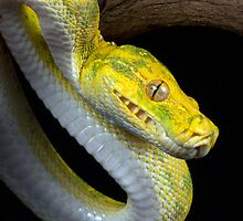 Juvenile Green tree python by Angi Wallace