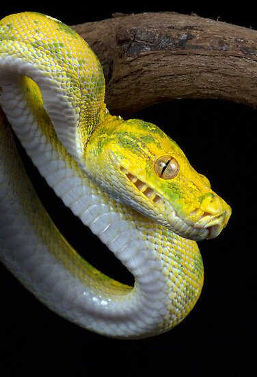 Juvenile Green tree python by AngiNelson